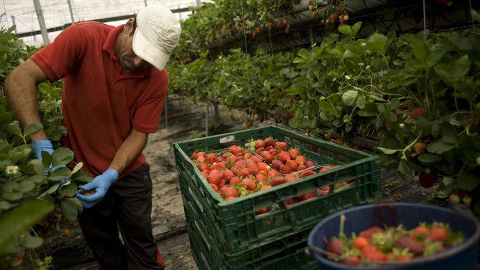 A seasonal worker in a strawberry greenhouse.